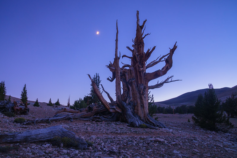 Patriarch Grove Ancient Bristlecone Pine Moonset White Mountains.jpg