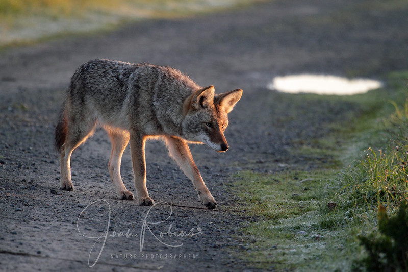 Coyote sniff out prey