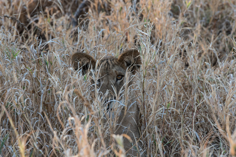 Young Lion Hiding in the Grass