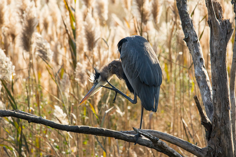 Great Blue Heron Fall 2019-4.jpg