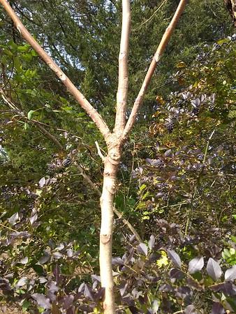 Ailanthus samples in Port Republic