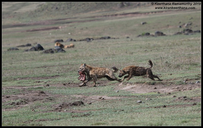 Spotted Hyena, Ngorongoro Crater, Ngorongoro Conservation Area, Tanzania, November 2019