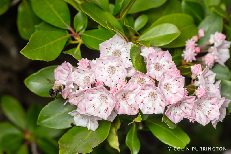 Mountain laurel with bumble bee