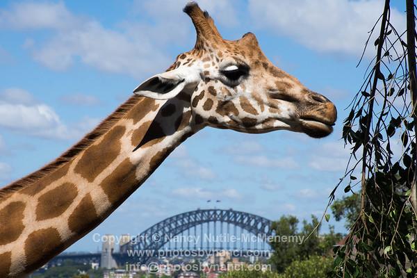 Sydney-Koalas, Opera House, Taronga Zoo, Blue Mountains, Springsteen and More