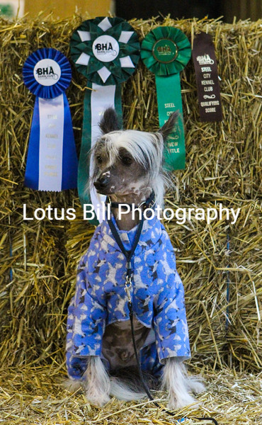 Chinese Crested (23 of 30).jpg