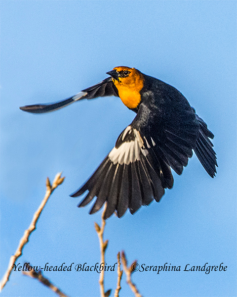 _DSC8801Yellow-headed Blackbird b.jpg