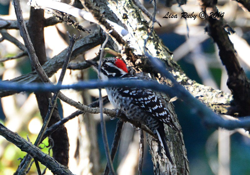 Nuttall's Woodpecker - 12/23/2014 - Grape Street Dog Park, San Diego