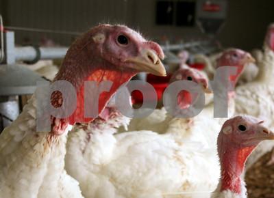 with-bird-flu-spreading-usda-starts-on-potential-vaccine