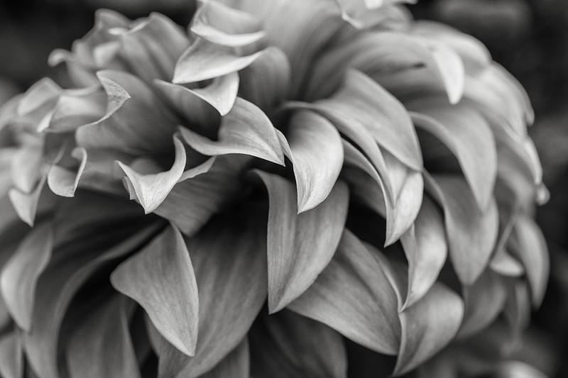 dahlia-09.jpg