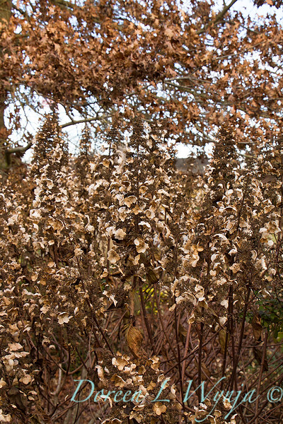 4194 Hydrangea paniculata 'Tardiva' winter interest_7716.jpg