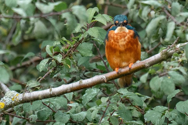 Kingfisher (Eisvogel)