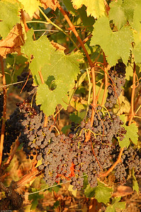Roter Wein / Red wine