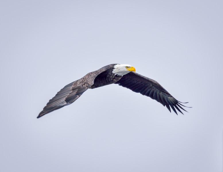 -_Bald Eagle 2014-12-18-4.jpg