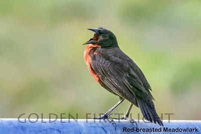 Red-breasted Meadowlark, Trinidad & Tobago