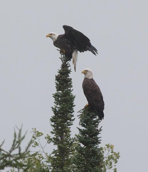 Bald Eagle adult Sax-Zim Bog MN IMG_6656.jpg
