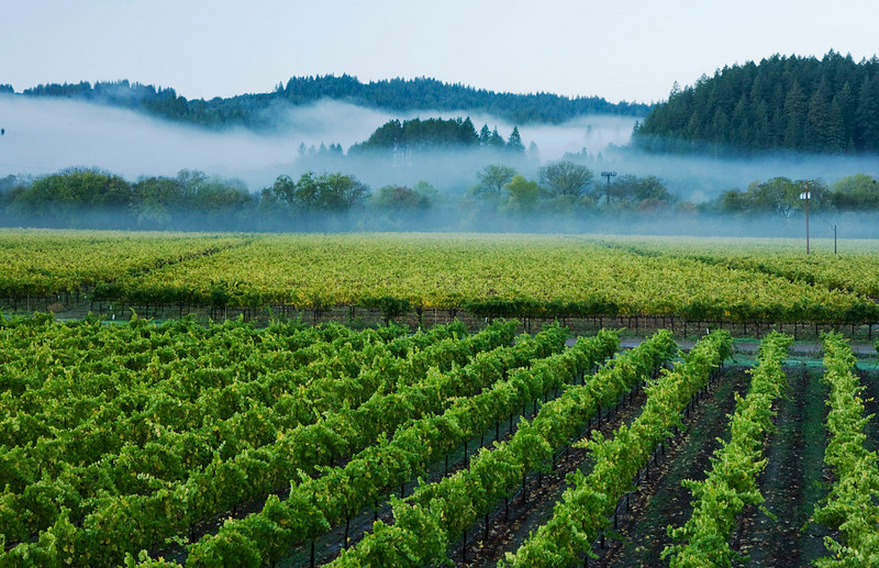 Vines with morning mist, California