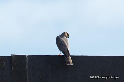 Vogels Sperwer