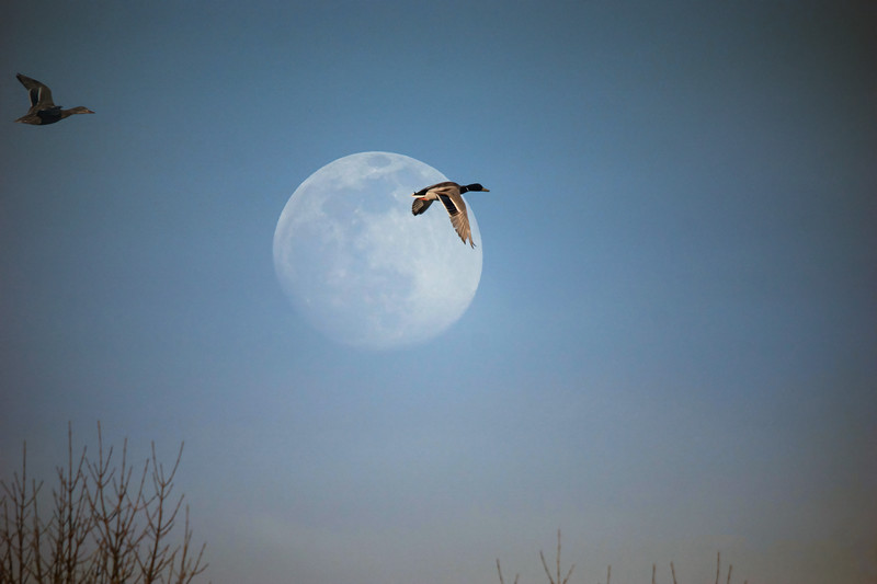 March Moon Bird Shakopee.jpg