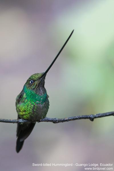 Sword-billed Hummingbird - Guango Lodge, Ecuador