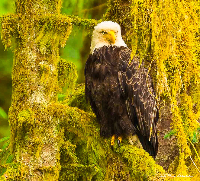 Anan Eagle (2).jpg