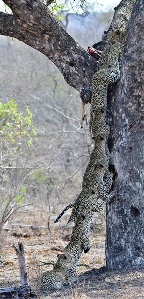 leopard JUMP images.jpg