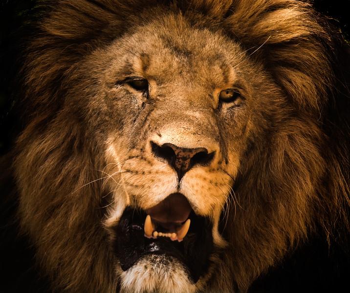 Lion at the Conservators Center NC