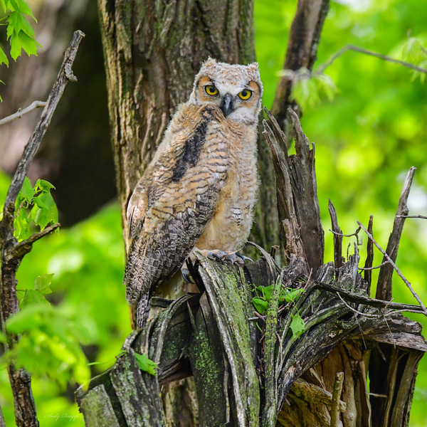 Great horned owlet (juvenile)