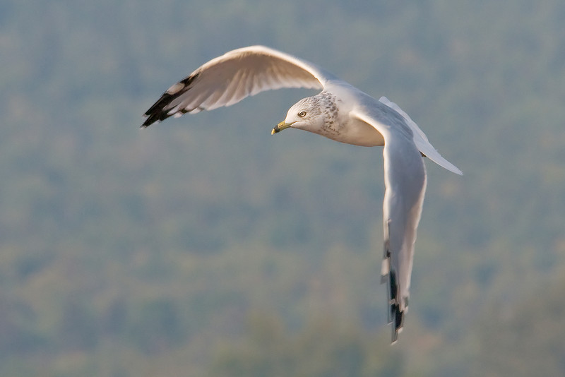 Gull - Ring-billed - flight - Grand Marais, MN