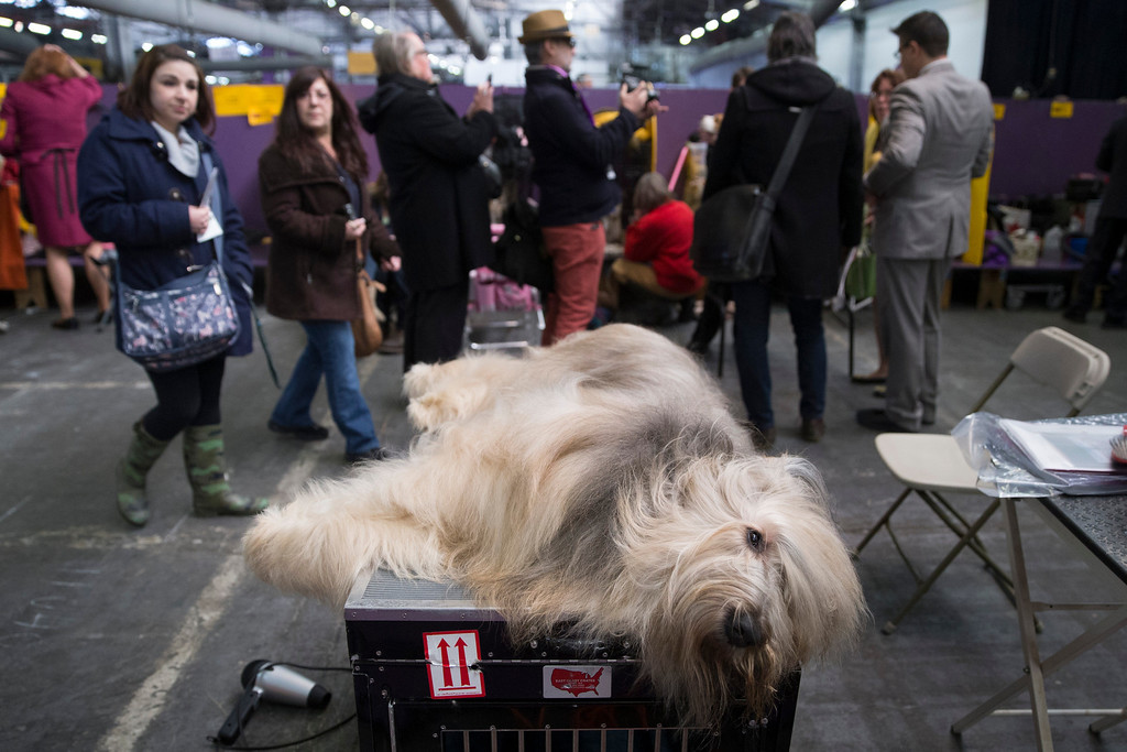 . Cagney, a Briard, rests in the beaching area during the Westminster Kennel Club dog show, Monday, Feb. 10, 2014, in New York. (AP Photo/John Minchillo)