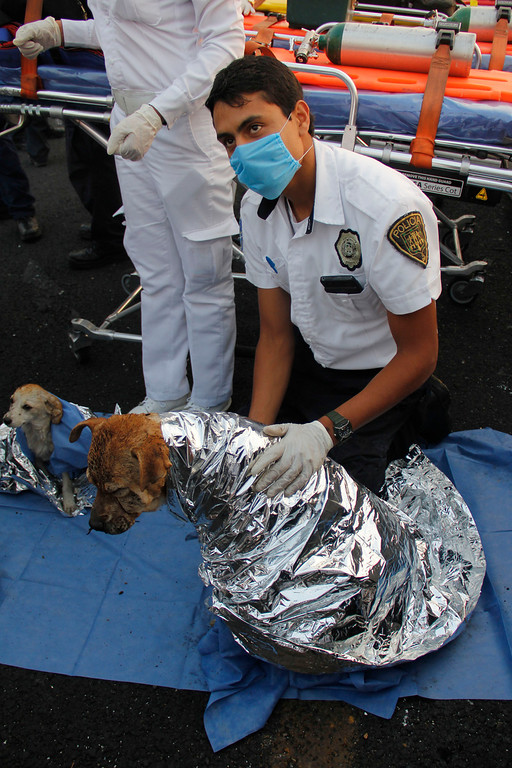 . A paramedic treats two injured dogs after a gas tanker truck exploded on a nearby highway in the Mexico City suburb of Ecatepec, early Tuesday, May 7, 2013. The blast killed and injured dozens, according to the Citizen Safety Department of Mexico State. Officials did not rule out the possibility the death toll could rise as emergency workers continued sifting through the charred remains of vehicles and homes built near the highway on the northern edge of the metropolis. (AP Photo/Gabriela Sanchez)