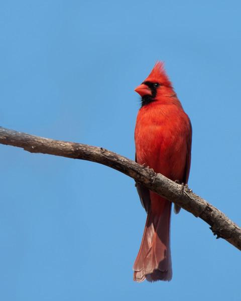 Cardinal (m) - D1272Exp