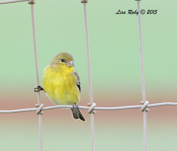 Lesser Goldfinch - 2/19/15 - Sycamore Canyon Rd, Poway