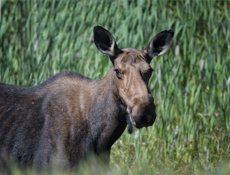 Moose July 21 2016.jpg