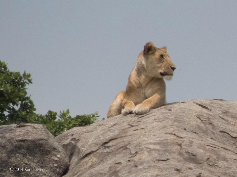Lions Serengeti - K-3.jpg