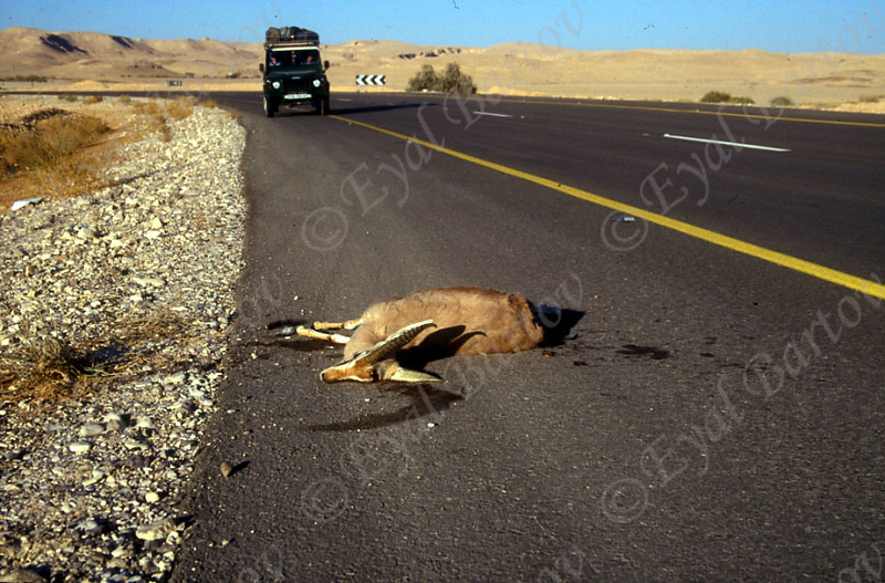 runover gazell.jpg