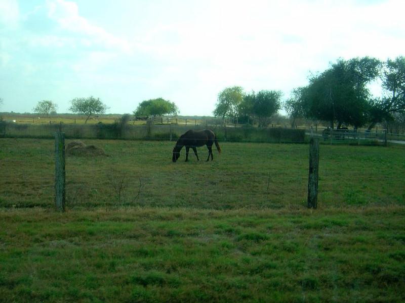 DSC03558-Brown Horse-King Ranch Tour-Thanksgiving-Kingsville TX- Nov 2008.jpg