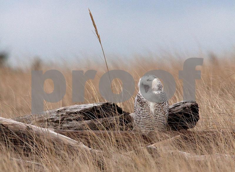 Snowy owl 5550c.jpg