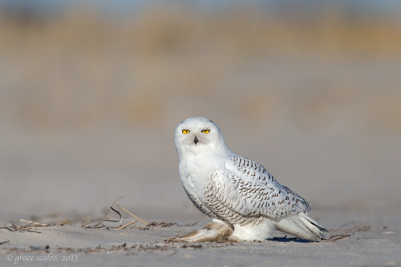 Snowy Owl eating Rabbit_O8U2143-Edit.jpg