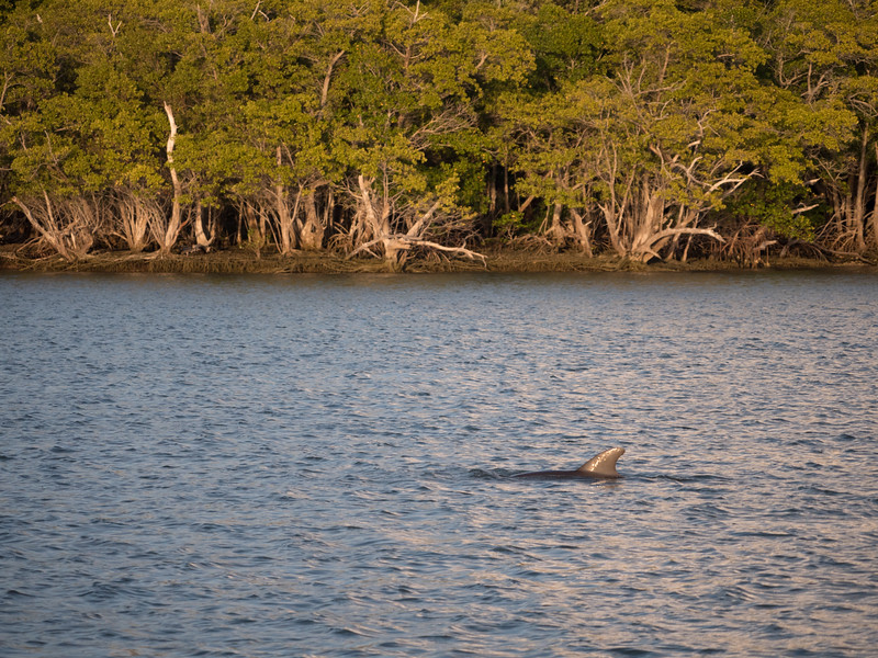 Dolphin by the Mangroves 10000 Islands