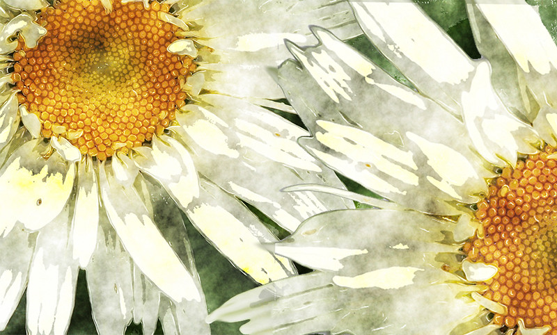 DA011,DA,Painted Daisies.jpg