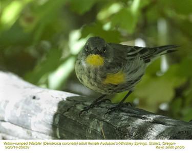 Yellow-rumped Warbler Audubon's F20859.jpg