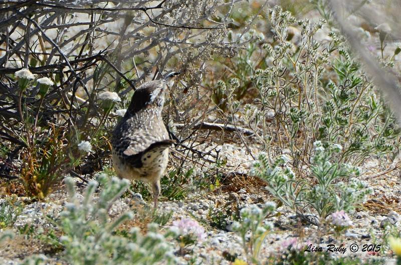 Cactus Wren - 3/7/2015 - Borrego Springs Visitor Center