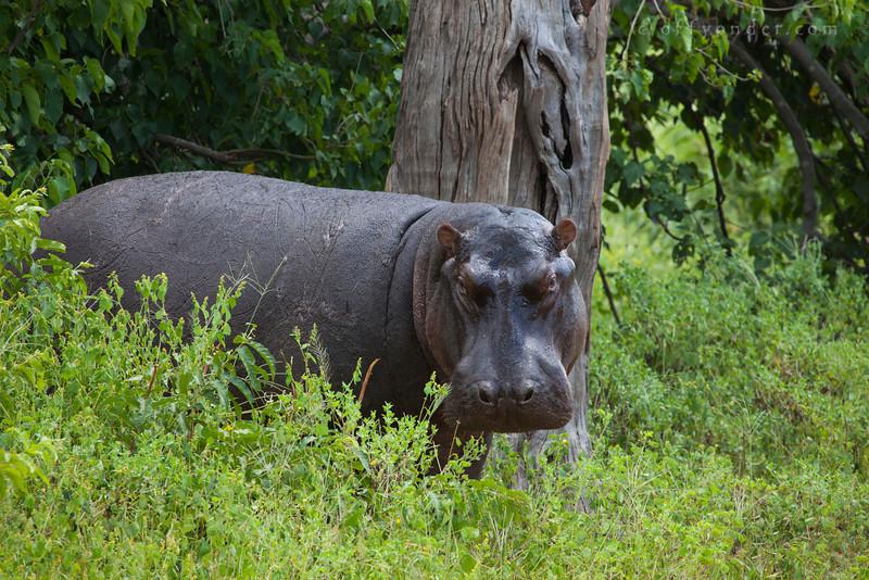 CHOBE NATIONAL PARK, BOTSWANA - Hippopotamus (Hippopotamus amphibius)