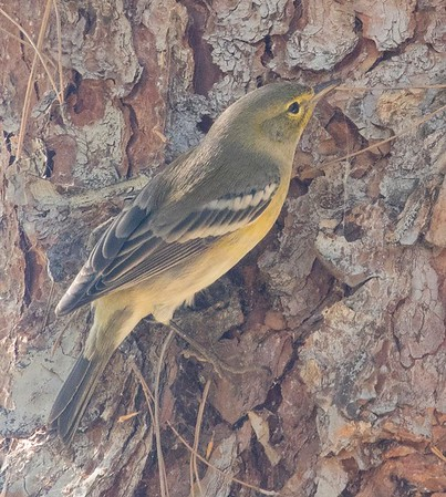 Pine Warbler  @  Nestor Park 10-16-18