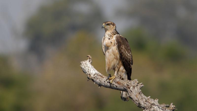 Unknown Hawk. Kwai River, Botswana.