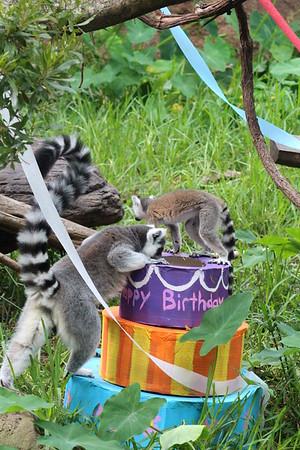 Ring-tailed Lemur Birthday Party - 7/2013
