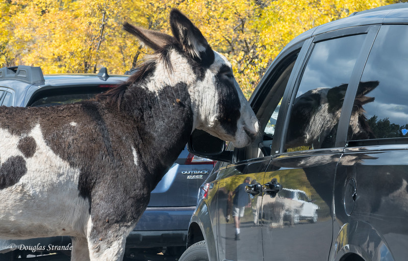Feral Donkey asking for a Handout