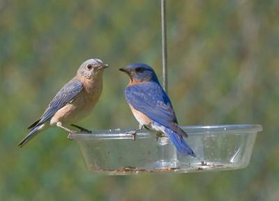 Memorial DayBluebirds, Orioles & Macro photos of a Stick Catapillar
