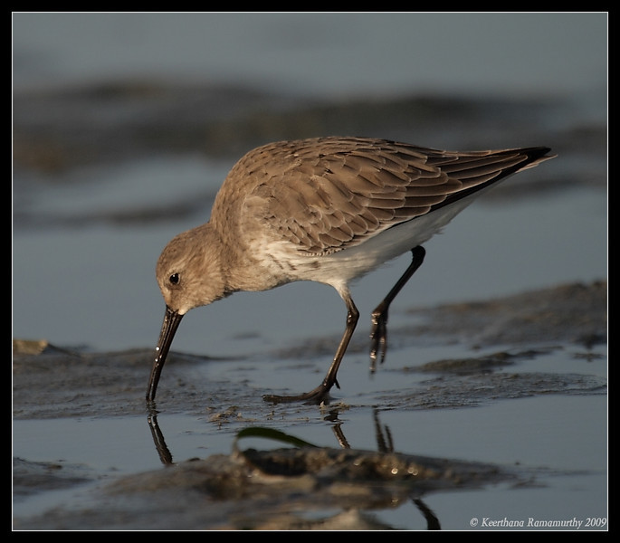Dunlin, Robb Field, San Diego River, San Diego County, California, September 2009