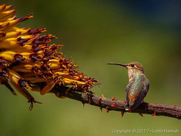 South Coast Botanical Garden - Hummingbirds, etc - Peninsula, CA